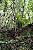 Baum samt Wurzelwerk, Wanderweg im Lorbeerwald Los Tilos, UNESCO Biosphärenreservat, La Palma, Kanarische Inseln, Spanien, Europa