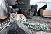 Cats in the fishing village of la Bombilla, La Palma, Canary Islands, Spain, Europe