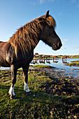 Islandpferde auf den Weideflächen Westergroen, Insel Spiekeroog, Wattenmeer, Ostfriesland, Niedersachsen, Deutschland