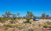 Trees and van in Joshua Tree National Park with a blue sky