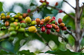 Coffee beans on plant at coffee plantation, Kinunu, Western Province, Rwanda, Africa