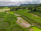 Aerial of workers harvesting rice plants from lush field, Kalewa, Sagaing Region, Myanmar, Asia