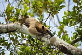 A southern tamandua (Tamandua tetradactyla) perches on the branch of a tree near the river, Panelas, Amazonas, Colombia, South America