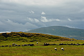 Sheep in the hills at Castlerock, County Londonderry, Northern Ireland