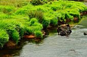 Wildes Gras am Ufer eines kleines Baches bei Streamstown, County Galway, Irland
