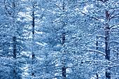 Winter forest landscape, Akaslompolo, Lapland, Finland, Europe