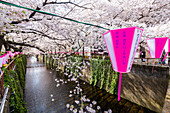 Meguro River during cherry blossom time, Tokyo, Japan, Asia