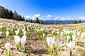 Blüte von Crocus Nivea in den Orobie-Alpen, Aprica, Orobie-Alpen, Valtellina, Lombardei, Italien, Europa