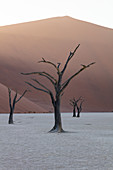 900 year old dead trees shot at Deadvlei at sunrise among the big Daddy Dune, Sossusvlei, Namibia, Africa