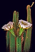The large white blossoms of the night blooming Trichocereus Spachianus Cactus (Golden Torch Cactus), Arizona, United States of America, North America