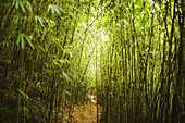 View along narrow footpath through dense bamboo forest.