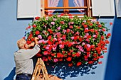 France, Bas Rhin, Wine Route, Itterswiller, man takes care of geraniums, windows with flowers