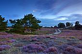 Pine and moon, heather in the Westruper Heide, Münsterland, North Rhine-Westphalia, Germany