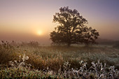 Hoar frost, oak and reeds in the fog, Oderbruch, Brandenburg, Germany