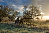 Hoarfrost, old willow tree in the fog, Oderbruch, Brandenburg, Germany