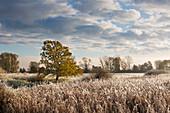 Hoar frost, oak and reeds, Oderbruch, Brandenburg, Germany