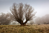Old willow tree in the fog, Oderbruch, Brandenburg, Germany