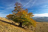 Old beech tree near Bischofsheim, Rhoen, Bavaria, Germany