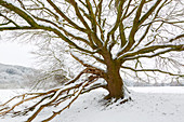 Oak in the Ruhr meadows in winter, near Hattingen, Ruhr area, North Rhine-Westphalia, Germany