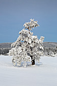 Pine tree, winter landscape on the Hohen Hagen near Winterberg, Sauerland, North Rhine-Westphalia, Germany