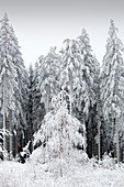 Spruce forest, winter landscape on the Hohen Hagen near Winterberg, Sauerland, North Rhine-Westphalia, Germany