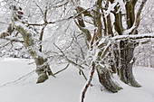 Beech trees, winter landscape on the Hohen Hagen near Winterberg, Sauerland, North Rhine-Westphalia, Germany