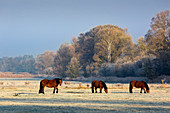 Horses in the pasture, hoar frost on the Spreewald, Brandenburg, Germany