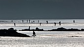 France, Finistere, La Foret Fouesnant, shellfish gathering at the Kerleven beach during a spring tide (coefficient 119) the 03/20/2015