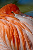 Caribbean Flamingo (American Flamingo) (Phoenicopterus ruber ruber) with beak nestled in the feathers of its back, in captivity, Rio Grande Zoo, Albuquerque Biological Park, Albuquerque, New Mexico, United States of America, North America