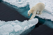 Young adult polar bear (Ursus maritimus) on ice in Hinlopen Strait, Svalbard, Norway, Scandinavia, Europe