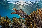 Adult broadclub cuttlefish (Sepia latimanus) on the reef at Sebayur Island, Flores Sea, Indonesia, Southeast Asia, Asia