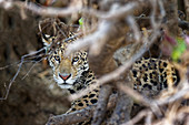 Young Jaguar (Panthera onca) in a tree, Cuiaba River, Pantanal, Mato Grosso, Brazil, South America