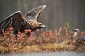 Steinadler (Aquila chrysaetos), Schweden, Skandinavien, Europa