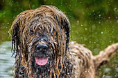 Briard in water, United Kingdom, Europe
