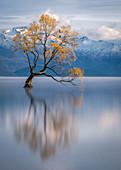 Wanaka Baum, Lake Wanaka mit den schneebedeckten Gipfeln des Mount Aspiring National Park, Otago, Südinsel, Neuseeland, Pazifik