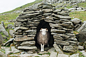 A sheep inside an old shepherd's stone shelter on the trail to The Old Man of Coniston, Lake District National Park, Cumbria, England, United Kingdom, Europe