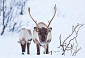 Weidende junge Rentiere (Rangifer tarandus), Insel Kvaloya, Troms, Nordnorwegen, Skandinavien, Europa