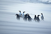 A group of Gentoo penguins (Pygocelis papua papua) caught in a sand storm, Sea Lion Island, Falkland Islands, South Atlantic, South America