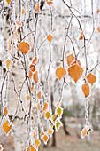 Frostbedeckte Birkenzweige und Blätter, Stadt Cakovice, Prag, Tschechische Republik, Europa