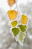 Frostbedeckte Birkenblätter, Stadt Cakovice, Prag, Tschechische Republik, Europa
