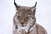 Europäischer Luchs (Lynx lynx), Polar Park, Troms, Norwegen, Skandinavien, Europa