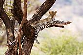 A leopard (Panthera pardus) rests on a tree, Samburu National Reserve, Kenya, East Africa, Africa
