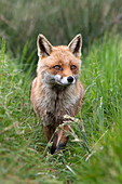 Red fox (Vulpes vulpes) captive, United Kingdom, Europe