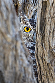 Spotted eagle owl (Bubo africanus), Kgalagadi Transfrontier Park, Northern Cape, South Africa, Africa