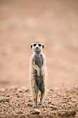 Young meerkat (Suricata suricatta) at burrow, Kgalagadi Transfrontier Park, Northern Cape, South Africa, Africa