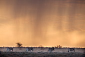 Plains zebra (Equus burchelli), at stormy sunset, Etosha National Park, Namibia, Africa