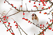 Goldfinch (Carduelis carduelis) in winter, Northumberland, England, United Kingdom, Europe
