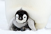 Emperor penguin chick (Aptenodytes forsteri), Snow Hill Island, Weddell Sea, Antarctica, Polar Regions *** Local Caption ***