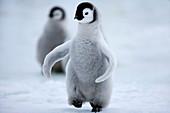 Emperor penguin chick (Aptenodytes forsteri), Snow Hill Island, Weddell Sea, Antarctica, Polar Regions
