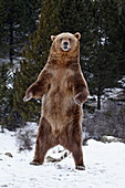 Grizzly bear (Ursus arctos horribilis) standing in the snow, near Bozeman, Montana, United States of America, North America